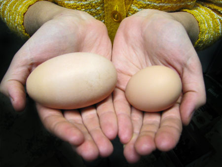 the one on the right is a normal sized chicken egg