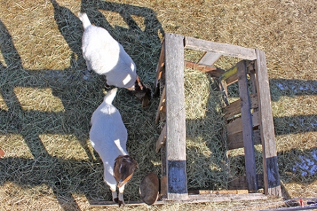 crane view of goat feeder